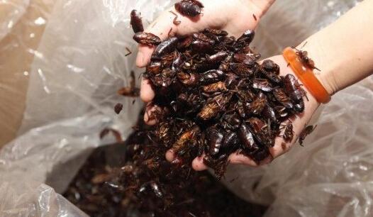 蟑螂养殖技术大全