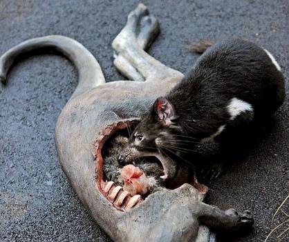 獾子养殖前景如何?
