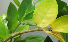 金钱树养殖常见问题解答:叶子为什么会发黄?