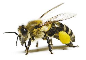 中蜂养殖技术大全