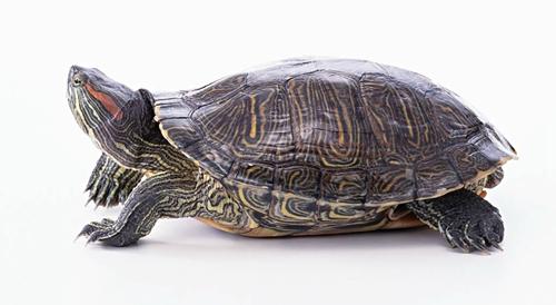 巴西龟养殖技术大全