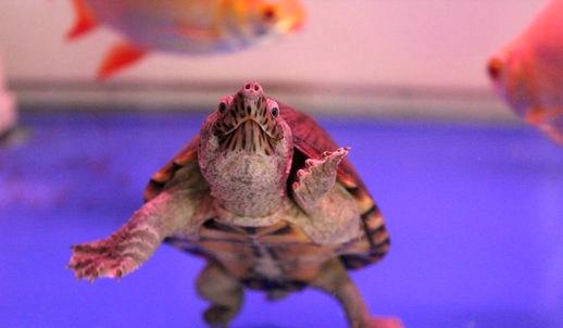 <b>剃刀龟养殖技术视频</b>