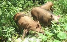 陕西渭南村民为防野猪投毒害死邻村7只羊