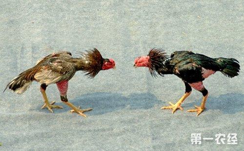 漳州观赏-助跑鸡-第一农经网滑翔伞斗鸡需要吗图片