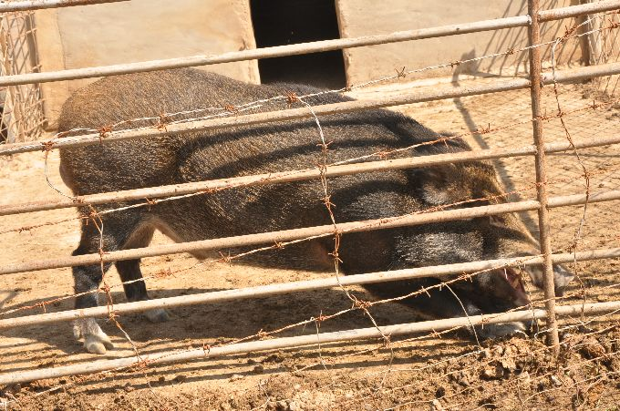 身世不凡 山猪长得慢有效益