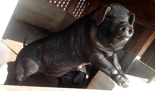 恩施在山里自由觅食的土黑猪