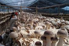 福建尤溪食用菌产业:打造高科技生产基地