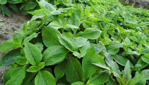 太子参种植技术视频_太子参发展前景以及种植方法简介 - 种植技术 - 第一农经网
