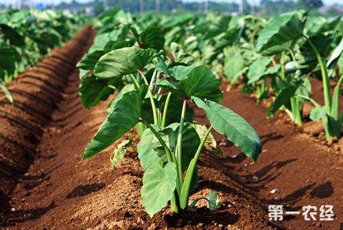 芋头常见病虫害种类以及防治技术