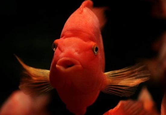 如何正确养殖鹦鹉鱼?