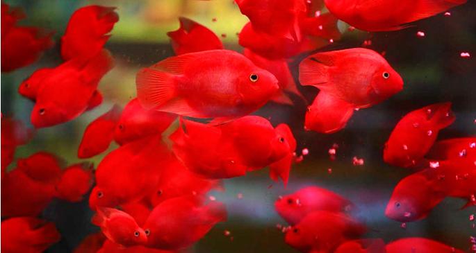 <b>鹦鹉鱼饲养要注意什么?</b>