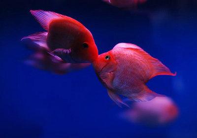 鹦鹉鱼养殖技术视频