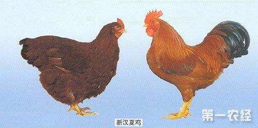 新汉夏鸡年产蛋量为180~200个。蛋重为56~60克,蛋壳褐色。标准体重,公鸡为3.0~3.5公斤,母鸡为2.5~3.0公斤。成年公鸡平均体重3800克,母鸡2900克。母鸡平均开产日龄210天,年产蛋180~220枚,蛋重56~60克。蛋壳褐色,有就巢性。新汉夏最初以产蛋多闻名,后来又被确认为肉质优良的鸡种。