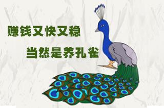 【养孔雀专题】孔雀饲养技术 孔雀养殖前景