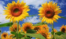 向日葵花语以及种植技术