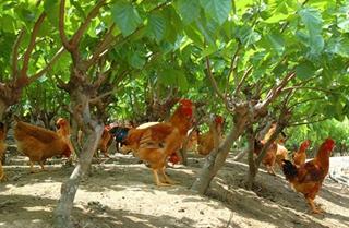盘点肉鸡放养龙头商须注意的十大问题