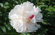<b>盆栽牡丹花怎么种植?</b>