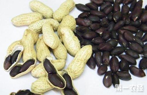 黑花生营养成分以及种植技术解析