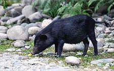 """广西黄秀红的""""黑山猪""""致富经!"""