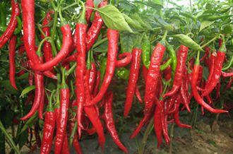 辣椒怎么种植