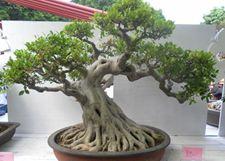 盆栽榕树怎么养?