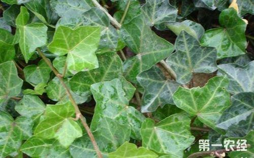 背景 壁纸 绿色 绿叶 树叶 植物 桌面 500_311