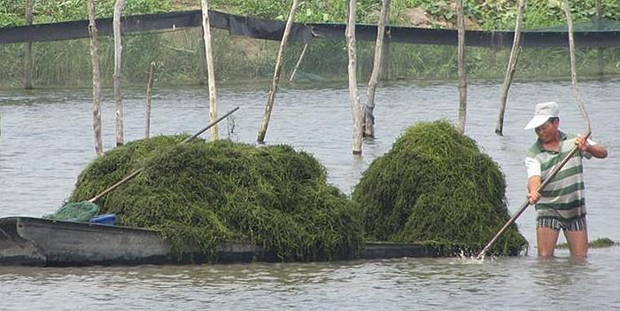 江苏泗洪县致富路:螃蟹池塘内养殖水草