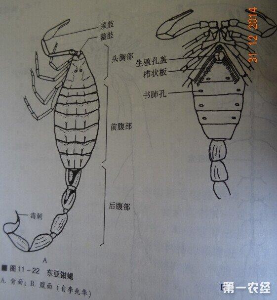 知道蝎子的身体结构是怎么样的吗?[图解]