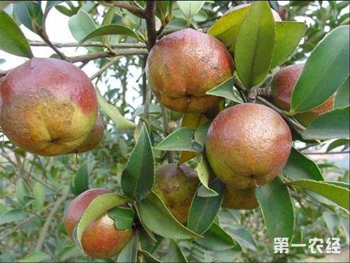 茶油树种植前景、成本以及种植技术分享