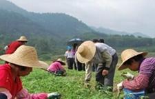 广东前锋镇:发财树种植基地育种近100万苗