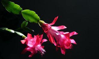 怎么区分蟹爪莲、仙人指和假昙花?
