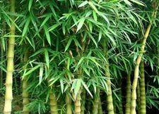 罗汉竹的养殖方法简介