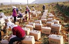 云南弥勒市朋普镇:挖出马铃薯就地包装