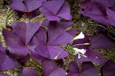 三角紫叶酢浆草怎么养?