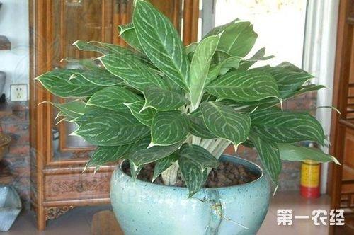 植物白雪公主花(白柄粗肋草)怎么养?