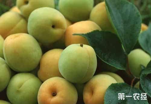 河北特产大名杏