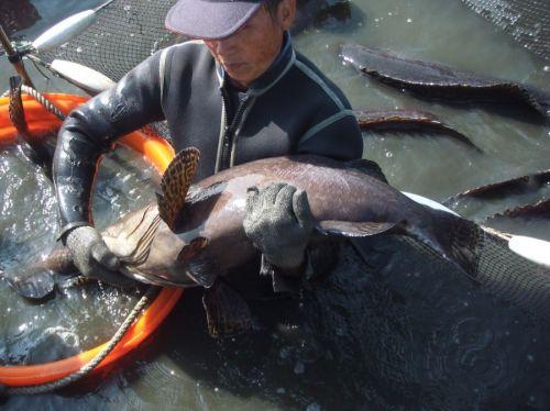 <b>石斑鱼养殖技术视频</b>