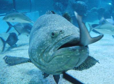 石斑鱼吃什么?