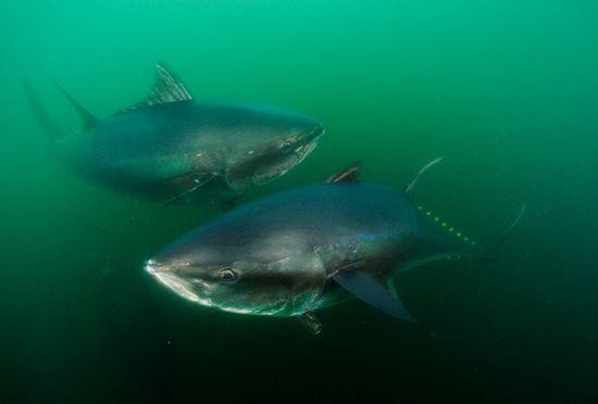 <b>金枪鱼的寿命是多少?</b>