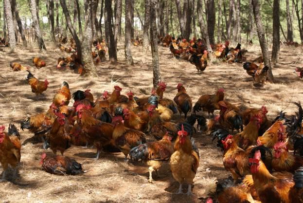 林下养鸡多赚钱的秘密