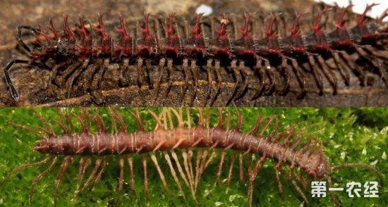 新发现两种粉色蜈蚣
