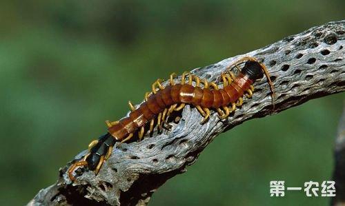 蜈蚣为什么会发生脱壳病?