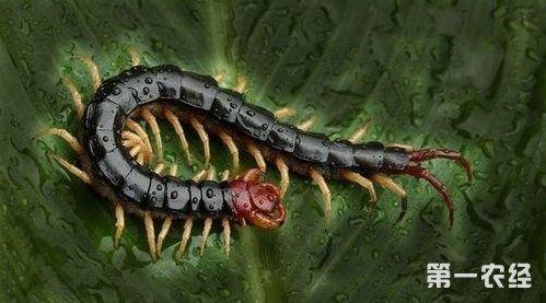 蜈蚣发生的常见疾病有哪些呢?