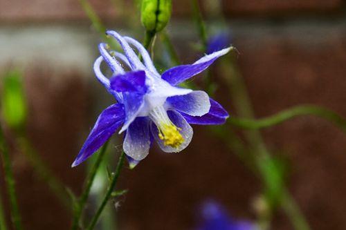 漏斗菜为双子叶植物药毛茛科植物小花耧斗菜或