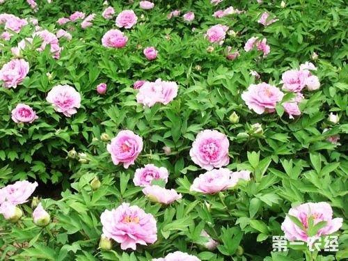 花叶万年青的种植方法内容|花叶万年青的种植方法 ...