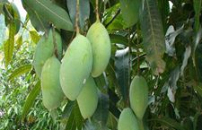芒果树种植技术大全