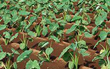 芋头种植技术之春季覆盖地膜种植技术