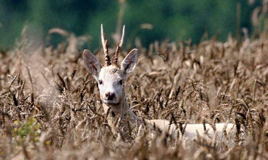 狍子和鹿有什么区别?