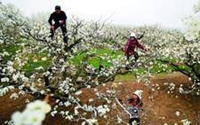 安徽砀山50万亩梨花盛开 梨花满枝请你来