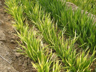 小麦根腐离蠕孢综合症防治技术
